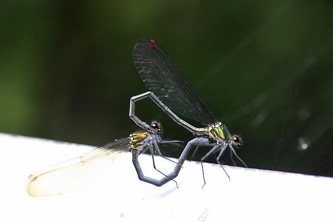 アサヒナカワトンボ