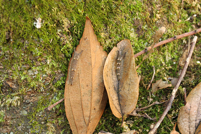 ゴマダラチョウとオオムラサキの幼虫