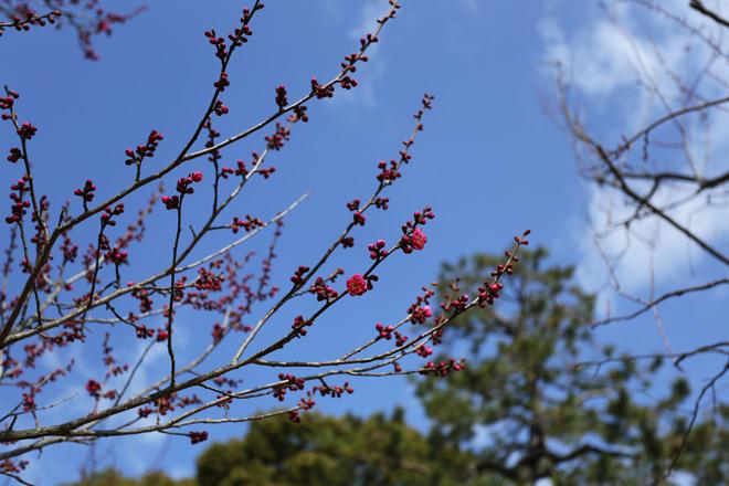 咲きかけの梅