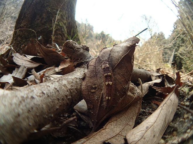 オオムラサキの幼虫