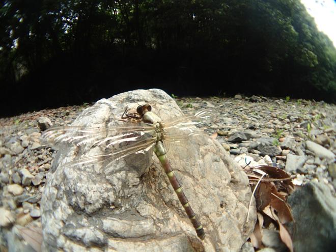 羽化中のコオニヤンマ