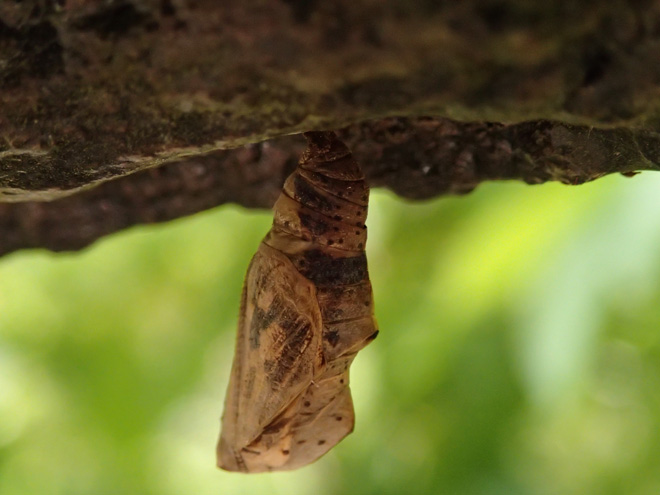テングチョウの蛹