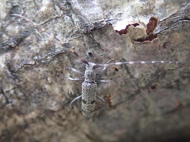 トゲバカミキリ