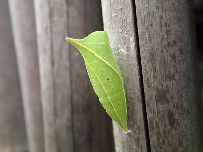 アオスジアゲハの蛹