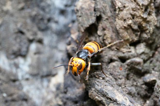 威嚇するオオスズメバチ