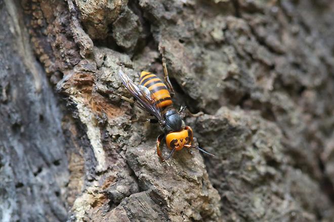 翅が片方しか無いオオスズメバチ