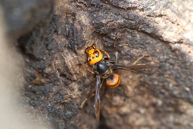 樹を齧るオオスズメバチ
