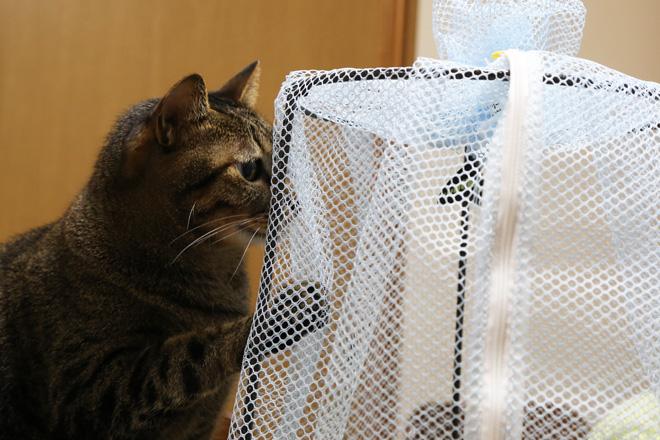 羽化したアオスジアゲハとうちのネコ
