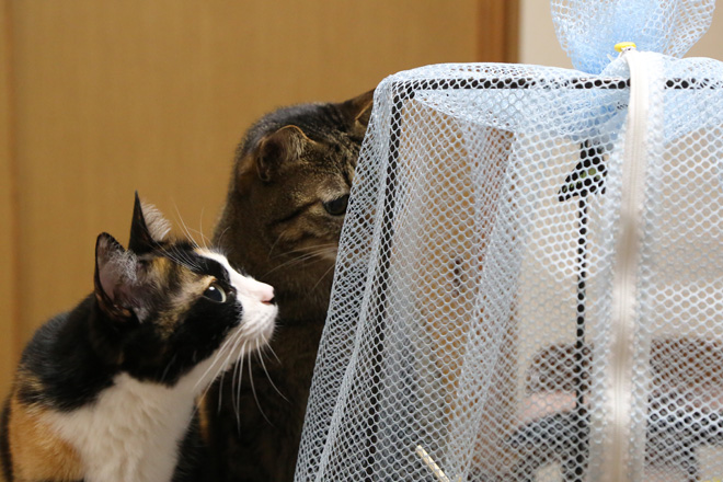 羽化したアオスジアゲハとうちのネコたち
