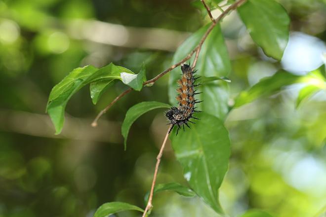 ヒオドシの前蛹