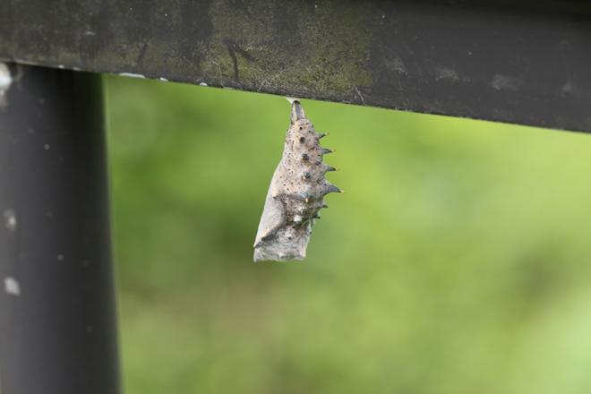 ヒオドシチョウの蛹