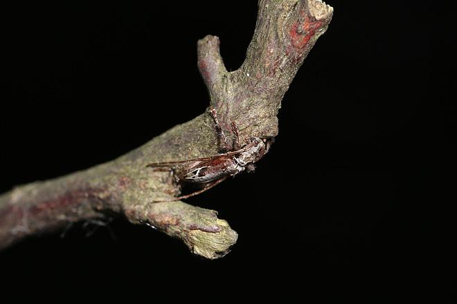 クモノスモンサビカミキリ