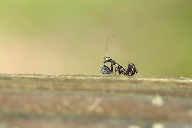 ヒメカマキリの幼虫