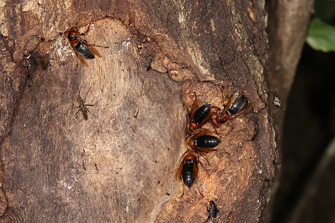 チャイロスズメバチ