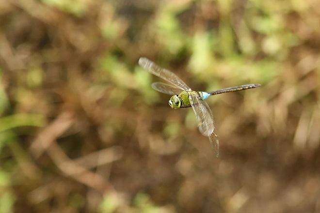 ギンヤンマの飛翔