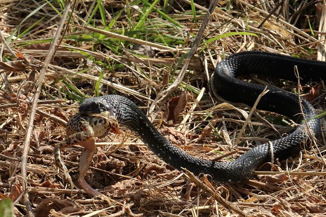 トノサマガエルを捕食するカラスヘビ