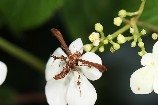 ブドウオオトリバ