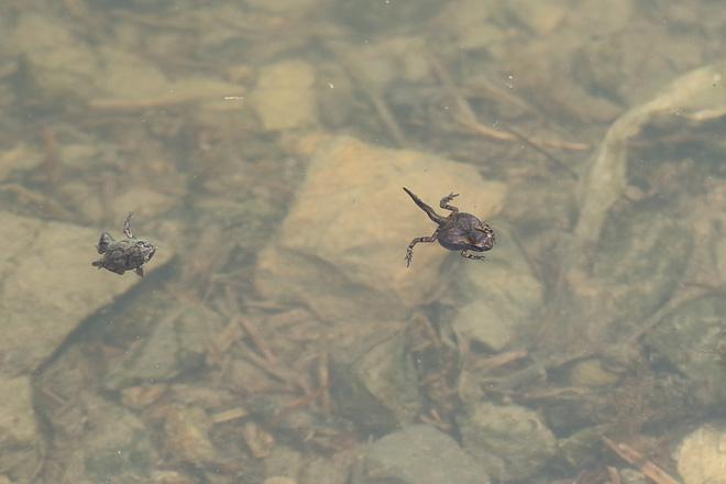 カエルの幼体たち