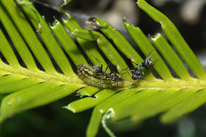 クロマダラソテツシジミの幼虫