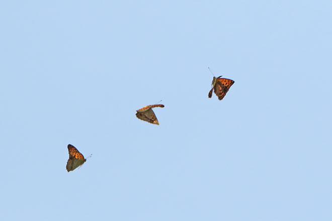 ウラギンスジヒョウモン メスを追いかけるオス2頭
