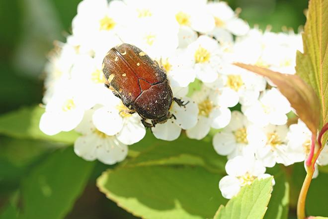 コアオハナムグリ(赤タイプ)