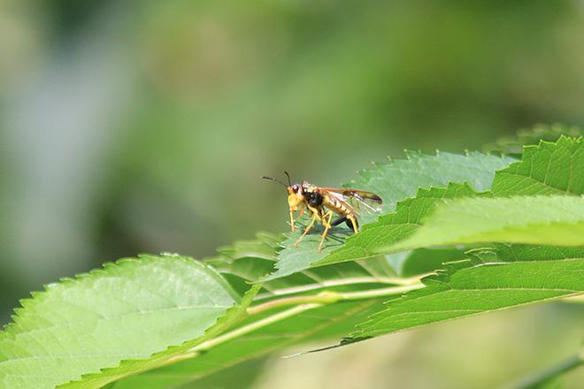 ヨウロウヒラクチハバチ