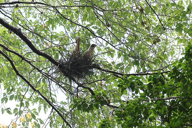 ササゴイと思われる幼鳥2羽とその巣