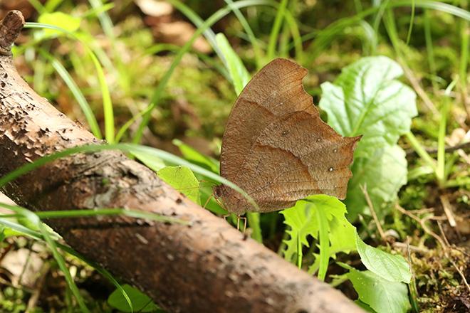クロコノマチョウ(秋型)