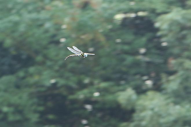 謎のヤンマの飛翔 その2