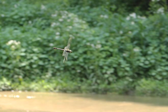 謎のヤンマの飛翔 その1