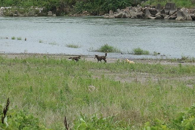 3匹の野犬