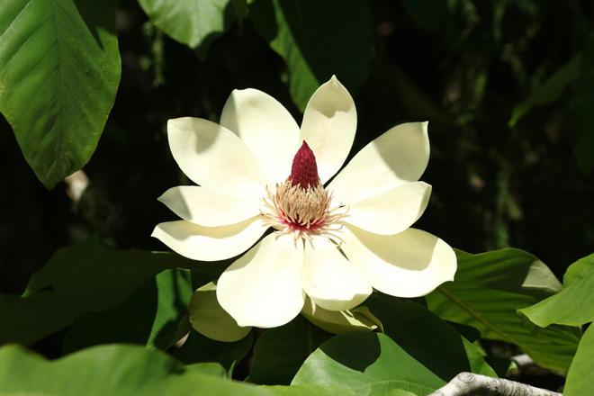 ホウノキの花