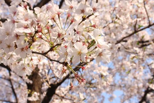 09/04/07 桜01