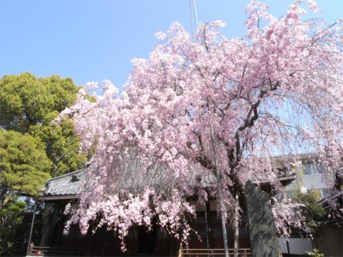 09/04/11 桜01