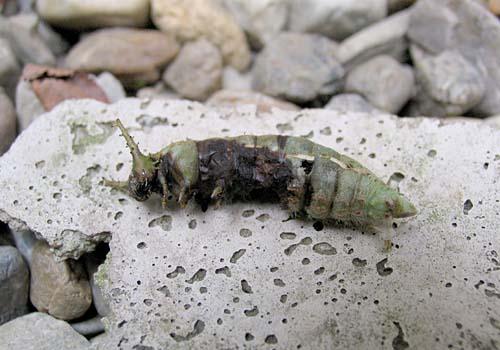★になったオオムラサキ幼虫